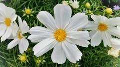 flower in line (von Renate Bomm) Tags: flower spring linie blumen line pictureoftheday frhling 2016 366 flickerunitedaward renatebomm