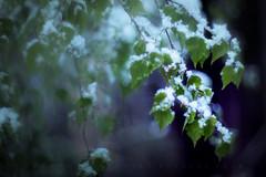 Nivalis (matthiasstiefel) Tags: blue schnee winter snow leaves spring takumar april birch blau bltter frhling birke multiexposure supertakumar50mmf14