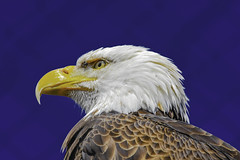 Bald Eagle Portrait (C. P. Ewing) Tags: blue portrait white bird nature birds yellow outdoors natural eagle outdoor bald prey avian