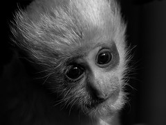 Guereza Baby (Sandra Wildeman) Tags: blackandwhite bw baby monochrome zoo monkey nikon sigma krefeld affen primates dierentuin dierenpark jungtier guereza primaten zookrefeld halbaffen easternblackandwhitecolobus mantelaffe mantledguereza colobusguerezakikuyuensis d5300 150600mm