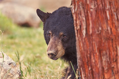 Black Bear (Cruzin Canines Photography) Tags: bear wild portrait nature animal animals canon outside mammal outdoors zoo wildlife naturallight calm wildanimal tamron naturepreserve blackbear califorina californialivingmuseum 5ds canon5ds eos5ds tamronsp150600mmf563divcusd canoneos5ds