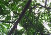 Green Vine Snake (Jenn Sinasac) Tags: snake panama vinesnake greenvinesnake oxybelis oxybelisfulgidus