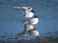 Bonaparte's Gulls on Ballona salt pan shallow water (stonebird) Tags: spring april bonapartesgull saltpan stonebird breedingplumage areab ballonawetlandsecologicalreserve img37932 laruspphiladelphia