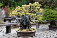 20160413-26-Bonsai at Kyoto Botanic Gardens (Roger T Wong) Tags: travel trees holiday japan kyoto bonsai botanicgardens 2016 canonef70200mmf4lisusm canon70200f4lis canoneos6d rogettwong