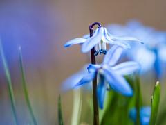 blue lantern (StadtKind - capture the Bokeh) Tags: leica blue flower outside deutschland petals europa europe dof bokeh depthoffield blau blume blte schrfentiefe scylla kempten elmaritr bokehlicious uotdoor bokehaddicted leitzwetzlar leitzwetzlarelmaritr9028 olympusem10markii