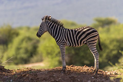 King of the Hill (Kev Gregory (General)) Tags: africa horse mountain game mountains field river private african district south reserve sigma safari guide shaun 50500 plains gregory kev herd harem striped limpopo zebras equus waterberg jenkinson quagga thabazimbi equids marakele marataba dolichohippus motlhabatsi
