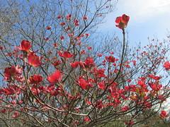 season of dogwood ... (october blue) Tags: autofocus floralfantasy thegalaxy saariysqualitypictures