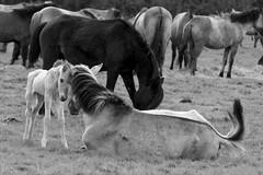 Wild Horses in black-and-white - Foal - 2016-005_Web (berni.radke) Tags: horse pony herd nordrheinwestfalen colt wildhorses foal fohlen croy herde dlmen feralhorses wildpferdebahn merfelderbruch merfeld przewalskipferd wildpferde dlmenerwildpferd equusferus dlmenerpferd dlmenpony herzogvoncroy wildhorsetrack