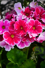 Top primrose (qooh88) Tags: pink primula potted perennial  primulaceae    largeflower       primulaobconica  topprimrose