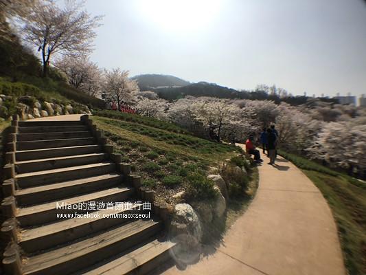 안산공원벚꽃30