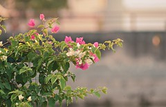 Happy weekend ... (Veena Nair Photography) Tags: india nature bougainvillea udaipur beautyinnature veenanairphotography