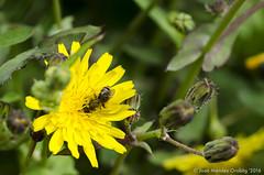 Macro_La Tossa 008 (jomendro) Tags: macro planta animals flor natura plantes macrofotografa abelles latossademontbui