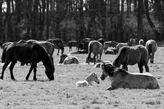 Wild Horses in black-and-white - Foal - 2016-004_Web (berni.radke) Tags: horse pony herd nordrheinwestfalen colt wildhorses foal fohlen croy herde dlmen feralhorses wildpferdebahn merfelderbruch merfeld przewalskipferd wildpferde dlmenerwildpferd equusferus dlmenerpferd dlmenpony herzogvoncroy wildhorsetrack