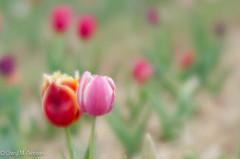 CMJ_3063 (cmj_rnrgrl) Tags: flower lensbaby virginia tulips velvet farms haymarket 56 burnside