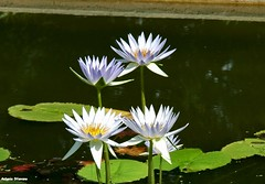 .... Ninfee #3 (antosti) Tags: foglie nikon italia d70s botanico petali padova veneto serre vasca orto ninfee esterna unipd ampala nimpheal