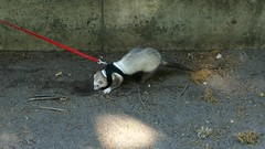Pet Ferret Digging (swong95765) Tags: cute animal ferret video digging leash active energetic