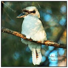 Kookaburra in the bush (juliewilliams11) Tags: bird bush outdoor border australian kookaburra photoborder