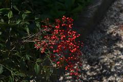 bacche (giovannafilotto) Tags: flower primavera fleur nikon fiori sole bacche bosco bacca passeggiate nikond nikond5200