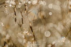 Morningn dew (grus_p) Tags: morning light summer sun nature sunshine finland drops nikon bokeh august dew luminanceborale