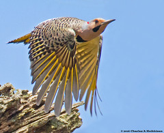 Yellow-shafted [Northern] Flicker (Colaptes auratus auratus) - Odana Marsh, Madison, Dane County, Wisconsin - April 20, 2016 (quetzal66) Tags: bird nature wisconsin woodpecker native wildlife aves madison breeding avian flicker nesting resident northernflicker colaptesauratus colaptes yellowshaftedflicker colaptesauratusauratus danecounty piciformes picidae summerresident odanamarsh