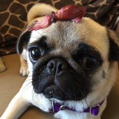 pug with squid (wombatarama) Tags: pug