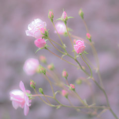 Rose (Linda Dyer Kennedy) Tags: pink plant flower field rose bush blossom bokeh outdoor pastel depthoffield serene depth