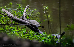 If Only I Could Fly (Gabriel FW Koch) Tags: light wild sun sunlight lake nature water animals canon eos canal pond log dof natural bokeh turtle wildlife warmth sigma naturallight telephoto turtles swamp heat wilderness creatures snappingturtles