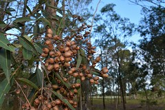Pink Bloodwood (dustaway) Tags: autumn fruit landscape australia nsw australianlandscape capsules myrtaceae northernrivers australiantrees richmondvalley lagoonroad corymbiaintermedia pinkbloodwood