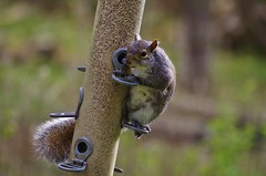 """What are you looking at?"" (Sundornvic) Tags: bird squirrel nuts feeder seeds feed robbery stealing"