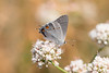 Gray Hairstreak in the Santa Monica Mountains