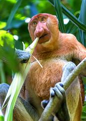 Proboscis Monkey Eating (Rob Kroenert) Tags: park wild male animal nose monkey leaf asia eating wildlife eat national jungle sarawak malaysia borneo endangered southeast malaysian primate bako proboscis southeastern bakonationalpark