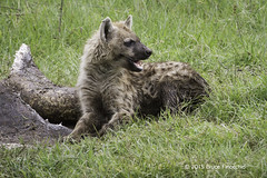 Young Hyena Guards An Old Hippo Hide (brucefinocchio) Tags: tanzania ngorongorocrater hyena eastafrica spottedhyena hippohide guardingfood younghyena