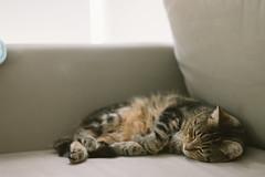 Sleepy Miko (栗☆) Tags: cat tabby 猫 sonya7 sel55f18z