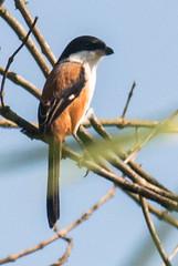 Karimganj Birds-304 - Lanius schach (Vijay Anand Ismavel) Tags: laniusschach longtailedshrike nikond800 karimganjbirds