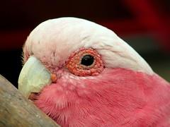 Rose-breasted cockatoo (PeterCH51) Tags: pink bird australia cockatoo portdouglas galah rosebreasted wildlifehabitat rosebreastedcockatoo peterch51