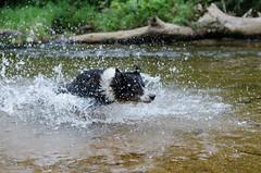 Lara (mcvmjr1971) Tags: travel dog beach brasil swim fun 50mm nikon collie play sopaulo border joy run cachorro viagem litoralnorte sosebastio barradouna prais f18d lensnikkor d7000 mmoraes
