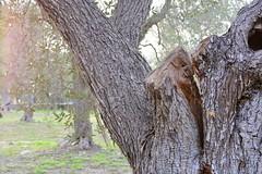 Spaccature - Split and roots (nene92) Tags: nikon open air roots crack split inverno salento puglia ulivi 2016 allaperto