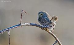 northern pygmy-owl (glaucidium gnoma) (punkbirdr) Tags: birds birding northernpygmyowl glaucidiumgnoma d7100 kusmin 500mmedafsif4 tc14eii14x
