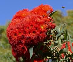 Flying in... (The Pocket Rocket) Tags: australia bluesky victoria bee eucalypt oceangrove floweringgum
