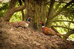 Fountains Pheasant Face-Off (craeglea) Tags: abbey pheasant fountains faceoff