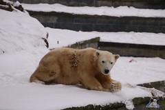 Eisbr Fiete im Zoo Rostock 23.01.2016  011 (Fruehlingsstern) Tags: vienna zoo polarbear vilma eisbr erdmnnchen fiete zoorostock geparden baumknguru canoneos750 tamron16300