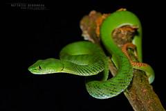 Popeia nebularis (MP7Aquit) Tags: trip macro nature animal highlands reptile snake g wildlife sony pit bamboo cameron malaysia serpent fe alpha animaux viper 90 ff f28 herp malaisie oss reptilia reptilian a7ii 24x36 nebularis pitviper vipre 7ii trimeresurus herping popeia bamboopitviper 7mk2 trimeresurusnebularis sonya7ii sonya7mk2 sonyilce7m2 sonyalpha7mark2 sonyalpha7ii sel90m28g cameronhighlandspitviper popeianebularis fe90f28macrogoss objectifsony90mmf28macrofe sonyfesonyfe2890macrogoss