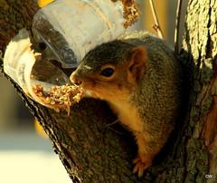 IMG_0078 (eos2315) Tags: winter backyard feeder squirel