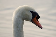 Swan (gooey_lewy) Tags: bird water up animal swan close head beak queens owned bead fowl own