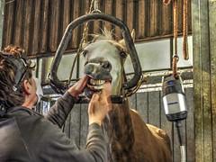 P1290082 (gill4kleuren - 11 ml views) Tags: horses dentist haflinger tandarts 2015 hengst