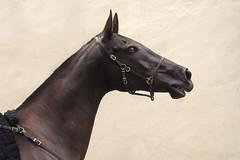 Joschik (buba_noi) Tags: horse equine teke akhal