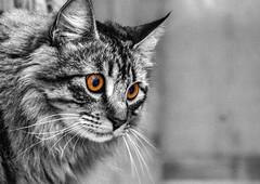 Ojos de garo (TobiTr3s) Tags: blanco animal negro bn ojos gato animales bichos mascota pelo manchas selectivo