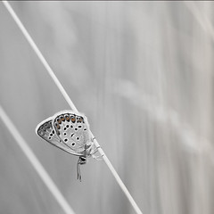 Silver Studded Blue (chaz jackson) Tags: blue butterfly insect studded lycaenidae plebejusargus silverstuddedblue