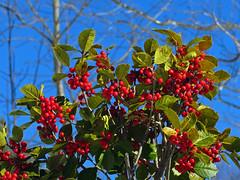 American Holly (BlueRidgeKitties) Tags: red berry northcarolina evergreen westernnorthcarolina americanholly ilexopaca southernappalachians danielboonenativegardens canonpowershotsx40hs