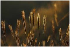 Backlight (Yadu Aralam) Tags: light grass backlight hill orrange oppositelight sunsettime yadu eveningclick yaduaralam yadusphotography yathumonma yathumon